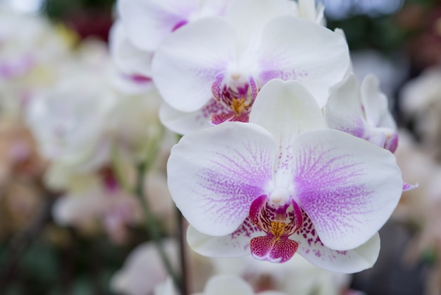 Um monte de floração manchada orquídeas traça