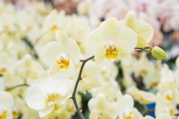 Um monte de floração manchado orquídeas traça, phalaenopsis cultivares sogo yukidian.