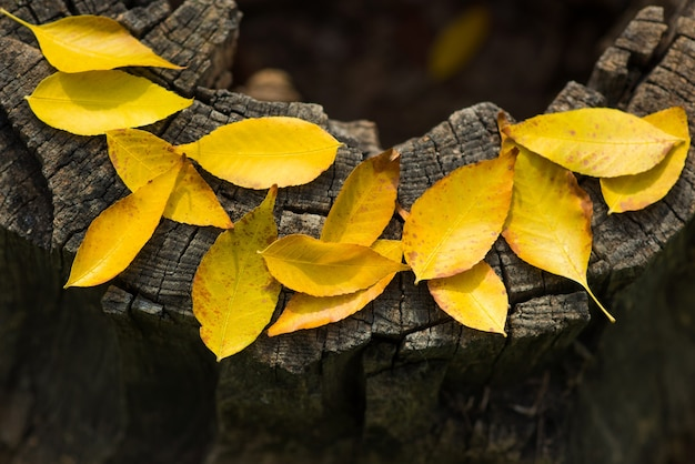 Um monte de folhas amarelas em um fundo de textura de madeira cortada