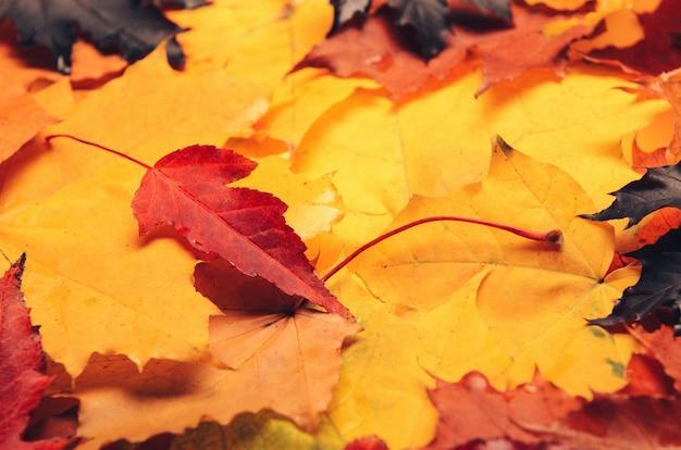 Um monte de folhas de outono vermelhas, amarelas e roxas