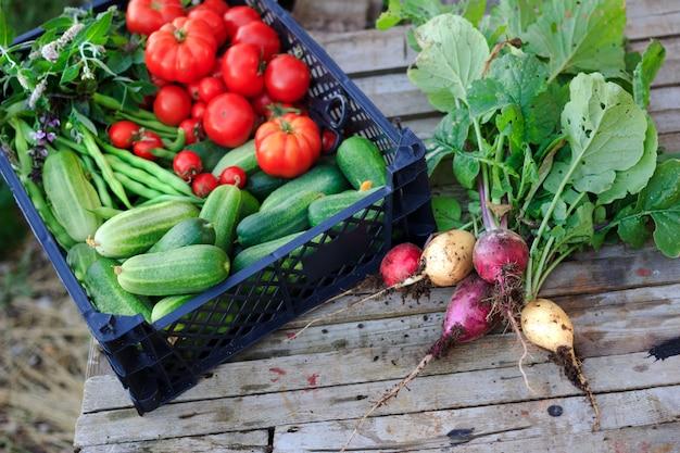 Um monte de rabanetes orgânicos frescos e uma cesta com pepinos, tomates, feijão e ervas