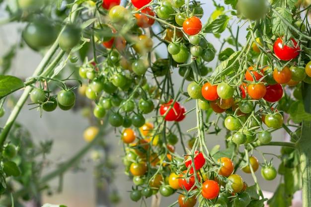 Um monte de tomate cereja maduro e verde orgânico em uma estufa. conceito caseiro, jardinagem e agricultura. fundo natural e ambiental.