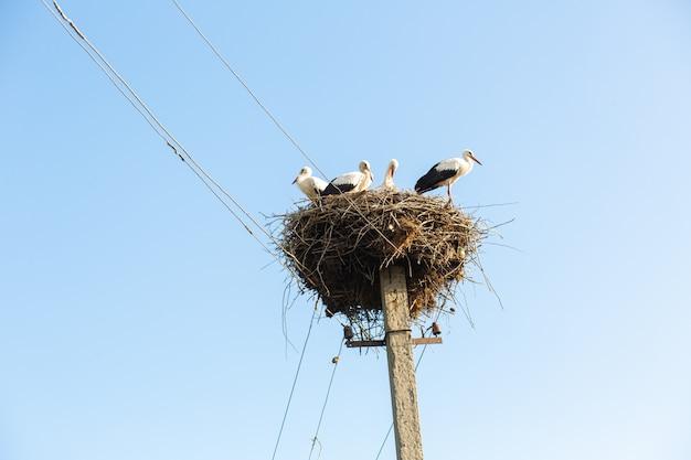 Um ninho com cegonhas em um poste de uma linha elétrica em uma vila.