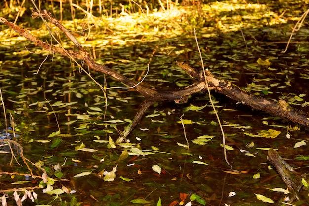 Um obstáculo saindo do pântano coberto com folhas caídas de outono e luz solar