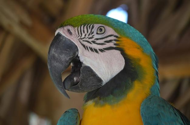 Um olhar mais atento para o rosto de um pássaro arara azul e dourado.