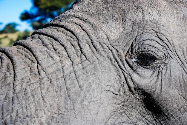 Um olho de elefante