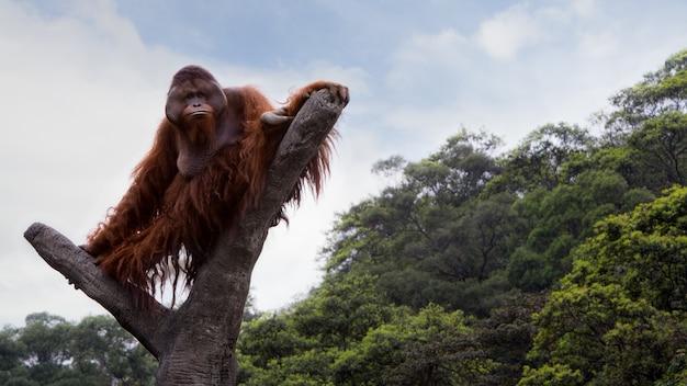 Um orangotango adulto de bornéu subiu ao topo da árvore e sentou-se para ver a floresta de cima em um dia de verão com céu azul. pongo pygmaeus