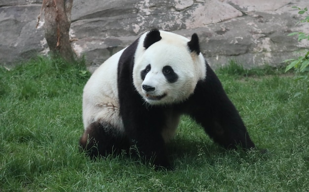 Um panda gigante preto e branco está caminhando na grama verde.