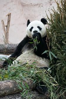 Um panda gigante preto e branco está comendo bambu. grande close-up de animal.