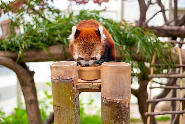 Um panda vermelho comendo comida em uma árvore
