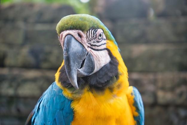 Um papagaio arara azul e amarelo no zoológico tailandês
