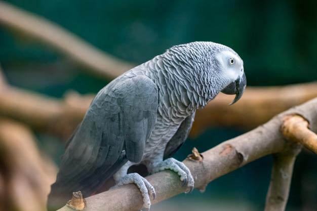 Um papagaio cinzento africano sentado em um galhos de madeira.