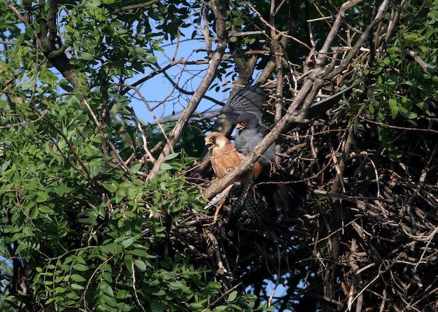 Um par de falcão-de-pés-vermelhos (falco vespertinus) acasala em um ninho.