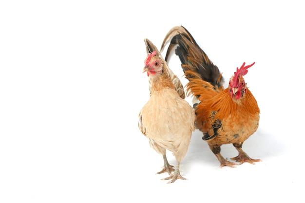 Um par de galinhas pequenas em branco
