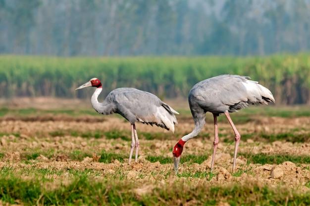 Um par de guindaste de sarus pegando comida no campo