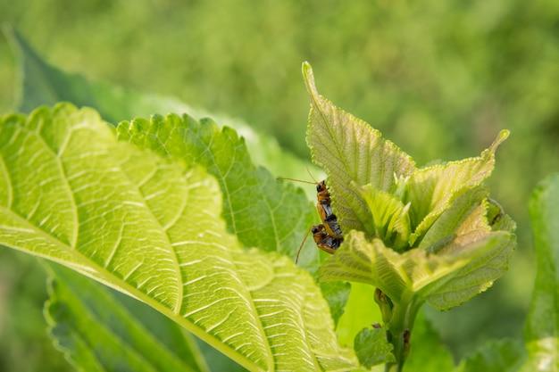 Um par de inseto amarelo sob as folhas verdes nas horas de verão sob a luz solar natural.