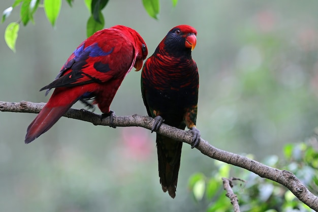 Um par de papagaios em um galho