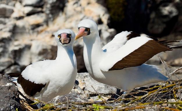 Um par de pássaros-booby brancos mascarados sentados nas rochas