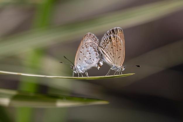 Um par de pequenas borboletas se acasalando, empoleirando-se na ponta de uma planta verde, close-up. indonésia