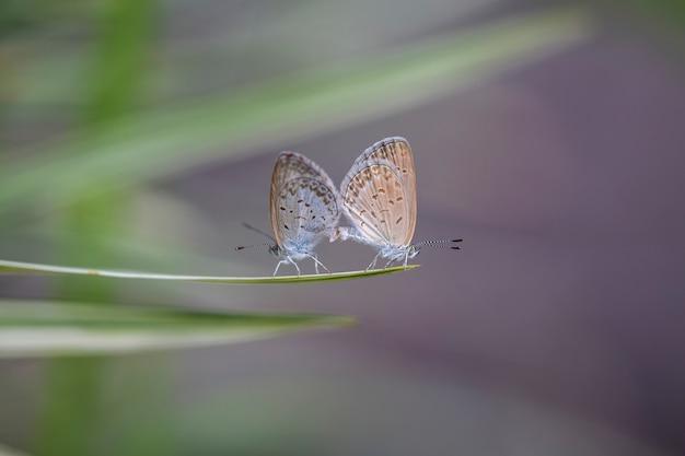 Um par de pequenas borboletas se acasalando na ponta de uma planta verde perto da indonésia