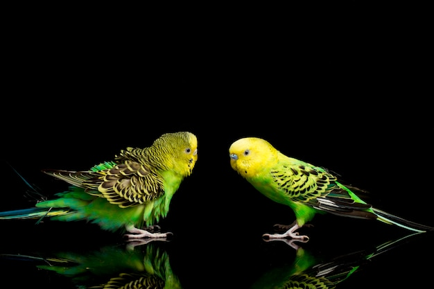 Um par de periquitos pássaro periquito isolado no preto