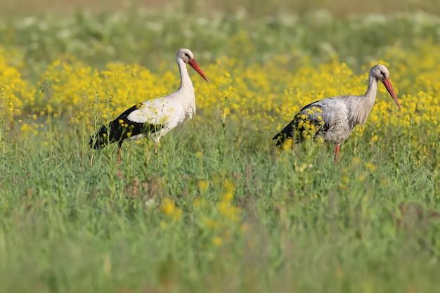 Um par de storck branco