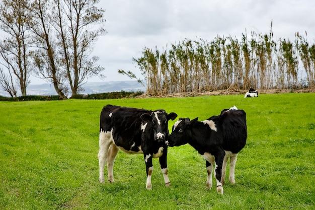Um par de vacas em um prado verde.