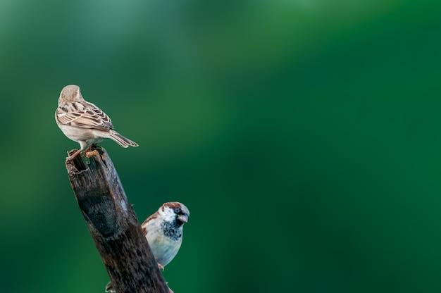 Um par pardal contra um verde