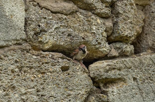 Um pardal olha para fora de sua casa em uma parede de pedra