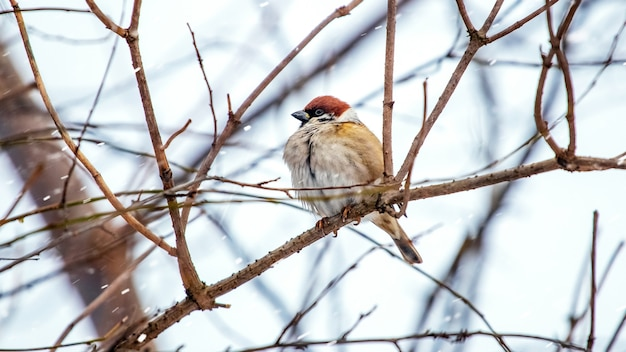 Um pardal senta-se em um galho de árvore no inverno durante uma nevasca