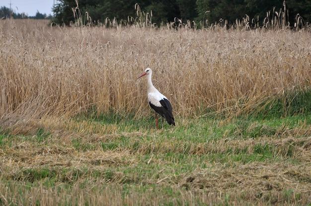 Um pássaro cegonha-branca está parado no campo.