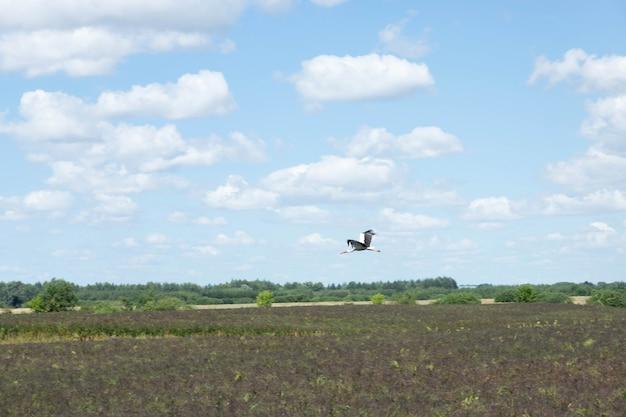 Um pássaro cegonha-branca voa sobre o campo.