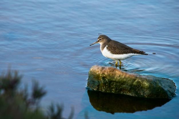 Um pássaro maçarico comum, de bico longo marrom e branco, caminhando em águas salobras em malta