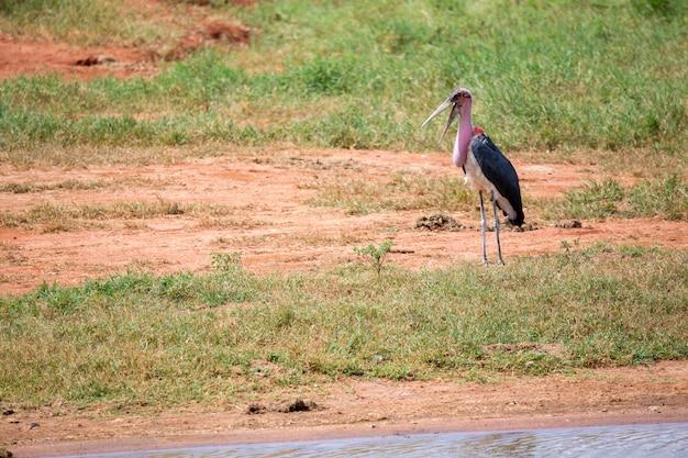 Um pássaro marabu está parado perto do poço de água