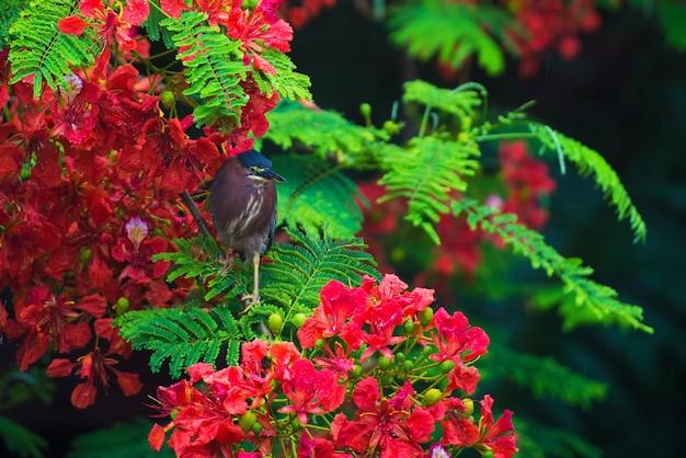 Um pássaro senta-se em um galho de uma árvore com flores vermelhas, butorides virescens.