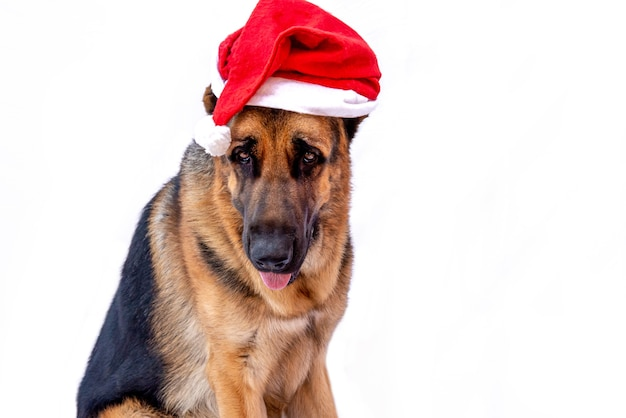 Um pastor alemão adulto com uma fantasia de natal e um chapéu de papai noel vermelho