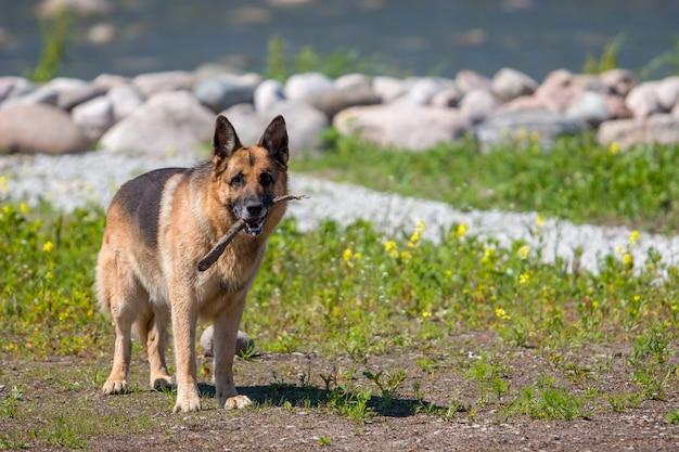 Um pastor alemão adulto está de pé com um pedaço de pau na boca contra o fundo de flores de pedra ...