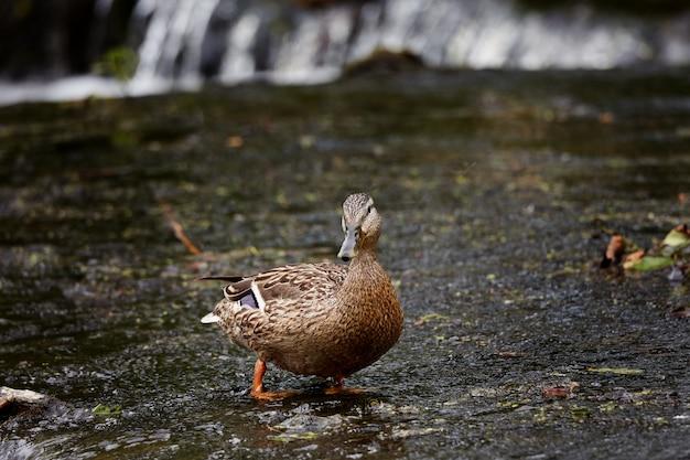 Um pato brincando em uma cachoeira