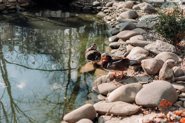 Um pato com cabeça e penas verdes foi para uma praia de seixos perto de um lago em um lago especial no zoológico para aves aquáticas.