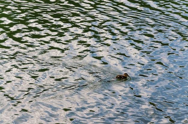 Um pato com pequenos patinhos nada na água