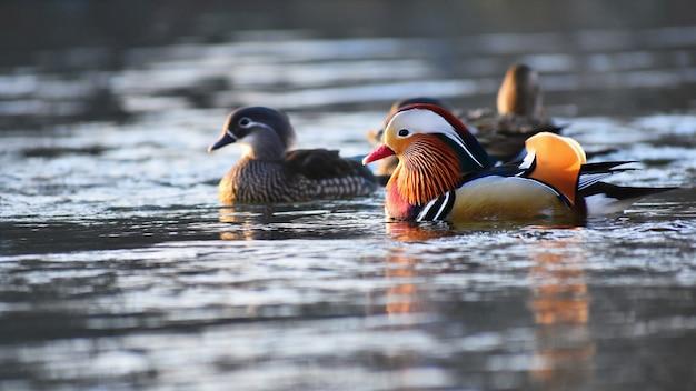 Um pato de mandarino masculino colorido. (aix galericulata)