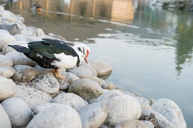 Um pato fica perto de uma lagoa