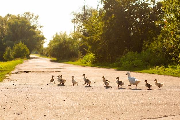 Um pato leva seus patinhos pela estrada. mãe pato com pequenos patinhos.