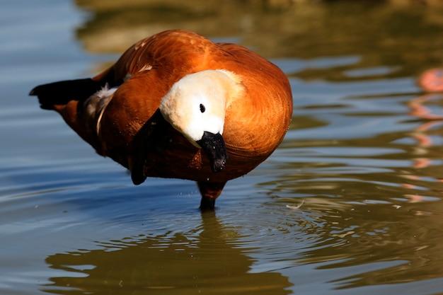 Um pato matinal na água
