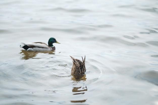Um pato mergulhando em busca de comida
