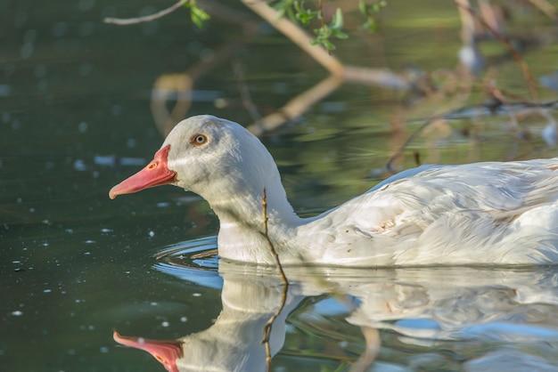 Um pato nadando calmo em um lago no início da manhã