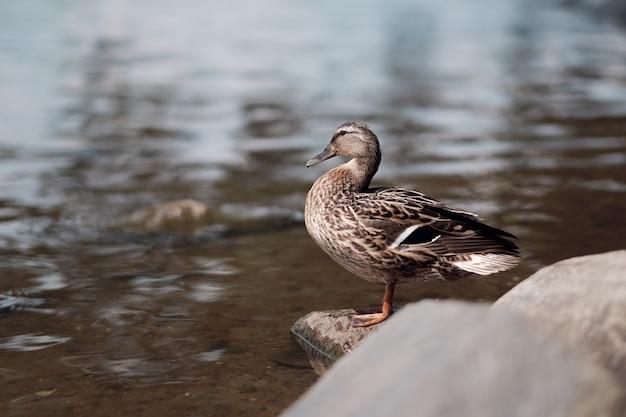 Um pato, pato selvagem na rocha