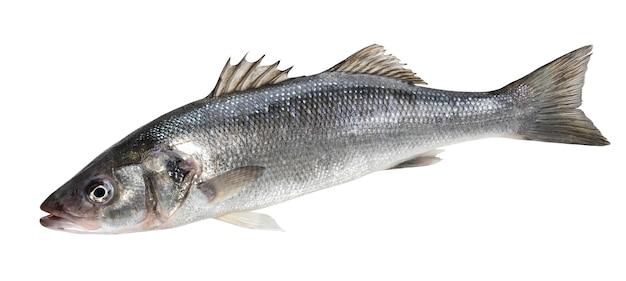 Um peixe robalo fresco isolado no branco