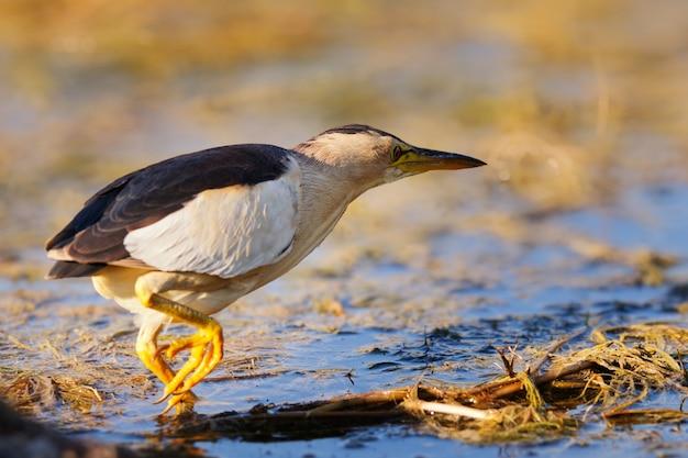 Um pequeno açougueiro (ixobrychus minutus) em pé na água à procura de comida.