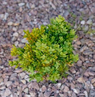 Um pequeno arbusto de buxo verde começa a crescer na primavera em pedras